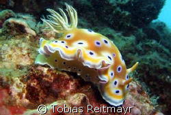 "Chromodoris ""sluggin'"" along, Bida Nai, Phi Phi Islands, ... by Tobias Reitmayr"