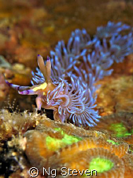 nudi makes 'peace' sign. Canon A640, Inon Z240, Single In... by Ng Steven