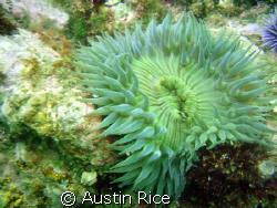 Green Anemone at Shaw's Cove, Laguna Beach. Heavy surge t... by Austin Rice