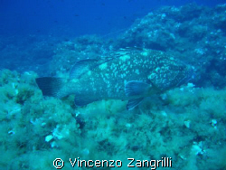 Massive Grouper in Ustica, Sicily, around 25m by Vincenzo Zangrilli