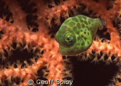 tiny puffer swimming in front of a gorgonian fan