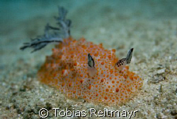Nudibranch (which species is it?) moving over the sand, M... by Tobias Reitmayr