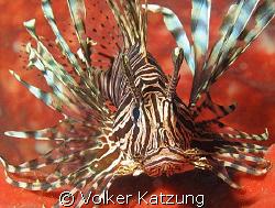 Lionfish by Volker Katzung