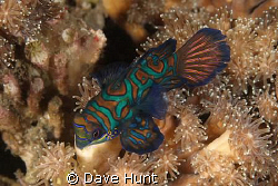 Mandarin fish, night dive, Lembeh Strait by Dave Hunt