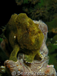 Baby Frogfish , only 2 inch , Canon S70 with macro lens by Beate Krebs