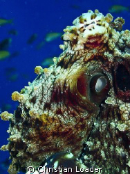 Reef Octopus - Baa Atoll, Maldives.  Olympus SP-350, sing... by Christian Loader