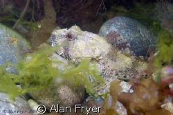 Long Spined Sea Scorpion taken at Trefor North Wales by Alan Fryer