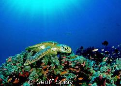 sunbathing turtle by Geoff Spiby