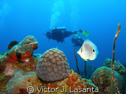 four eye butterfly fish at window dive site in parguera ,... by Victor J. Lasanta