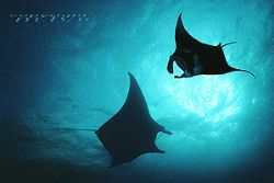 Micronesia YAP - COMPOSING > Manta righthandside Nik.5/20mm by Manfred Bail