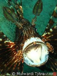 Yawning Lionfish ..  by Mulwardi Tjitra