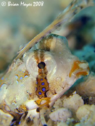 Head shot of a baby Orange & Black Dragonet (Dactylopus k... by Brian Mayes