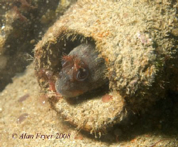 Tompot Blenny taken at Trefor Pier, North Wales.  Nikon D... by Alan Fryer