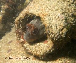 Tompot Blenny taken at Trefor Pier, North Wales.  Nikon D... by Alan Fryer