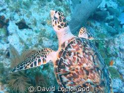Sea turtle at Conch Wall, Islamorada, Florida, 45 fsw. by David Lockwood
