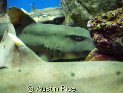 A group of horned-sharks, just chillin'. Taken with a bar... by Austin Rice
