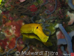 """Yellow-pipefish giving me the """"curious"""" look by Mulwardi Tjitra"""