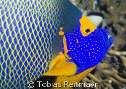 Blue face angelfish portrait. When the clown trigger is t... by Tobias Reitmayr