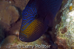 """""""Fish Face"""" ,Black Durgin, trigger family, D300, 105mm by Larry Polster"""
