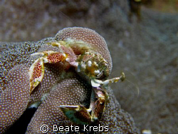 Porcelan Crab , Canon S70 with macro lens by Beate Krebs