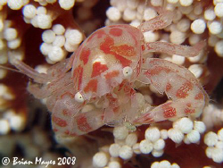This tiny (15mm) Porcelain Crab (Porcellanella sp.) is co... by Brian Mayes