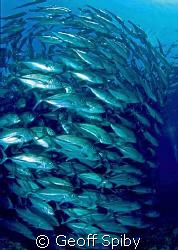 schooling jackfish, Sipidan by Geoff Spiby