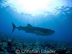 Whale Shark at Maamigili, Ari Atoll, Maldives. I got to d... by Christian Loader