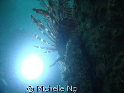 Silhoutte of a lionfish. by Michelle Ng