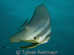 Longfin Batfish, The Dome, Koh Tachai, Canon EOS 350d 18-... by Tobias Reitmayr