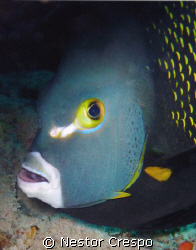French Angel Fish at Vieques Island in Puerto Rico by Nestor Crespo