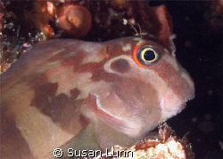 Fanged Blenny, La Paz, Sea of Cortez. Olympus 5050, Inon ... by Susan Lunn
