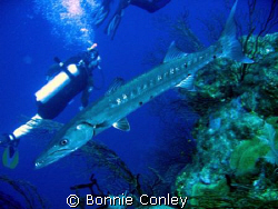 Great Barracuda seen at Grand Cayman August 2006.  Photo ... by Bonnie Conley