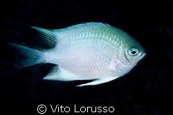 Fishs - Amblyglyphidodon leugogaster by Vito Lorusso