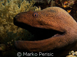 Up close and personal with a Giant Moray (gymnothorax jav... by Marko Perisic