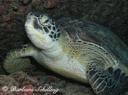 A green Turtle posing for the photographer. Taken with a ... by Barbara Schilling