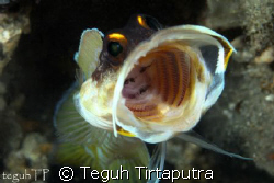 Blotched jawfish...captured using Canon EOS 400D, with Se... by Teguh Tirtaputra