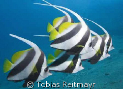 Longfin Bannerfish in formation, standing in the massive ... by Tobias Reitmayr