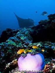 Maldivian Anemonefish with Manta in background.  North Ma... by Christian Loader