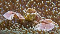 Spotted Porcelain Crab (Neopetrolisthes oshimai) from Ani... by Jim Chambers