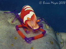 Imperial Shrimp (Periclimenes imperator) on a large sea c... by Brian Mayes