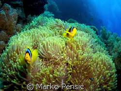 Reef seen with Red Sea Anemonefish (amphiprion bicinctus)... by Marko Perisic