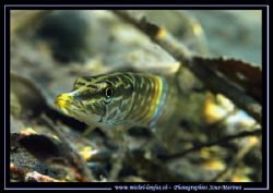 A very young pike fish not far from the surface of the la... by Michel Lonfat