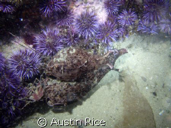 """Two sea hares that were """"dancing"""" with each other. Night ... by Austin Rice"""