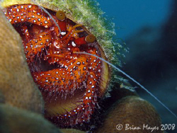 I noticed this Spotted Hermit Crab (Dardanus megistos) cr... by Brian Mayes