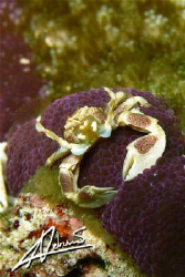 Porcelain Anemone Crab or Cheerleader? Richelieu Rock - T... by Adriano Trapani
