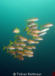 """School of goatfish. Look at the guy on the left: """"oh my, ... by Tobias Reitmayr"""