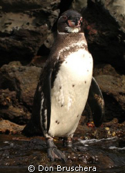 Part of the Galapagos adventure is snorkeling with pengui... by Don Bruschera