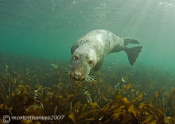 Inquisitive grey seal.