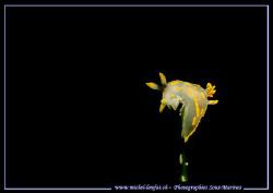A yellow nudi-branch in the waters of the Etang de Thau. by Michel Lonfat