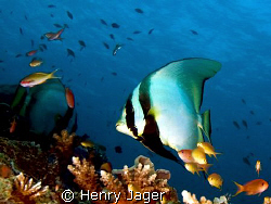 """""""Batfish"""" from Raja Ampat, West Papua by Henry Jager"""